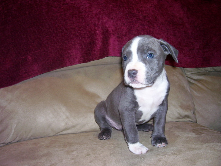 blue nose pitbull puppy New York, blue nose pitbull New York HOME