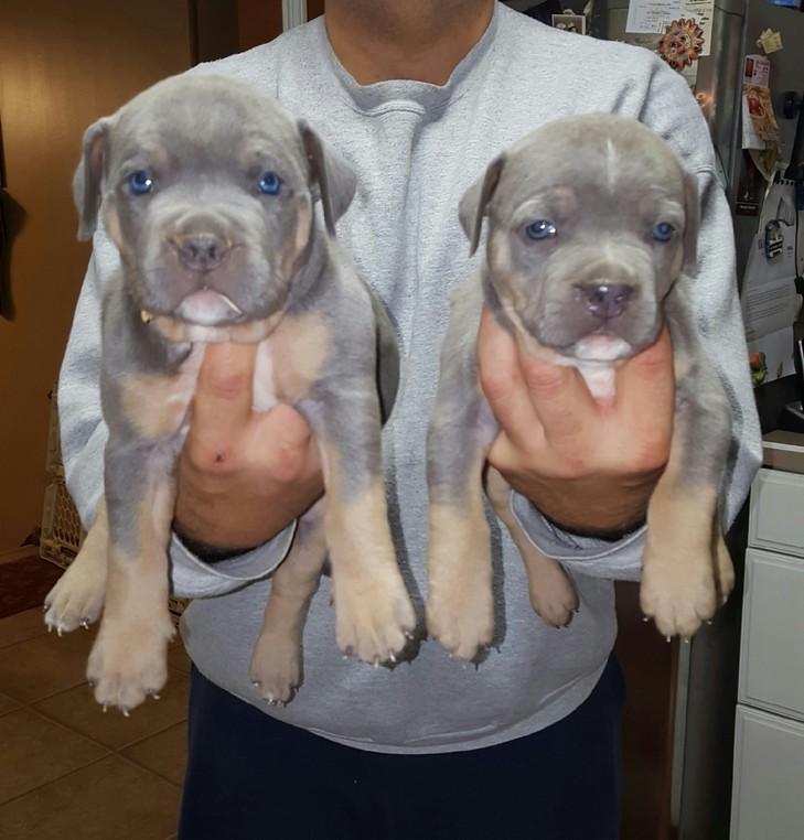 blue nose pitbull puppy New York, blue nose pitbull New York
